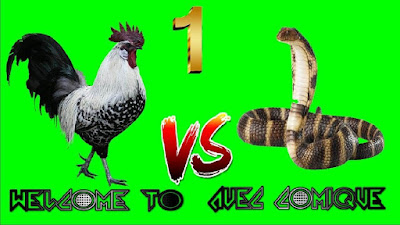 When the rooster meets with the cobra, be sudden ( video ) 1