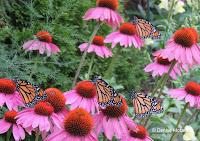 Four Monarch butterflies on Purple coneflower - © Denise Motard