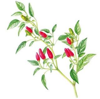 Pimenta, nome científico: Capsicum spp
