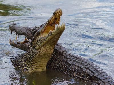 Water Animals Name Crocodile