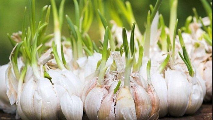 cara menanam bawang putih hidroponik, cara menanam bawang putih tunggal, cara tanam bawang putih, budidaya bawang putih tunggal, budidaya bawang putih pdf, budidaya bawang putih dalam polybag, cara menanam bawang putih di polybag, cara menanam bawang merah