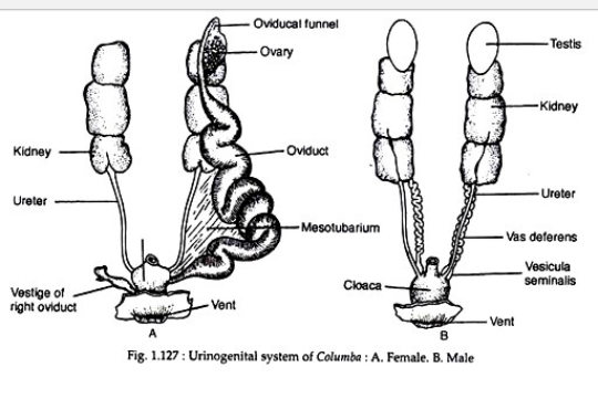 Biology : Reproductive system of pigeon