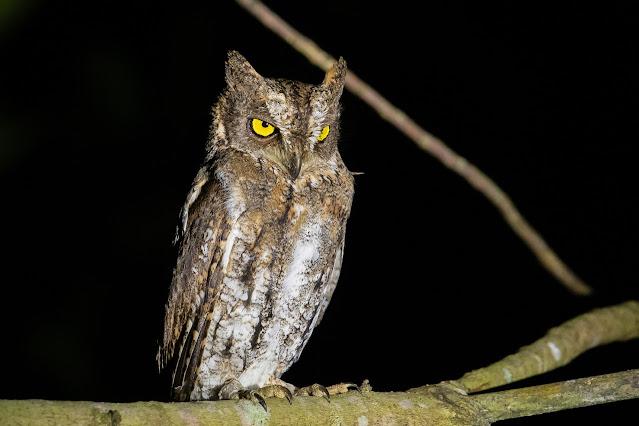 Oriental Scops-Owl (Walden's) - Image by Yash Kothiala