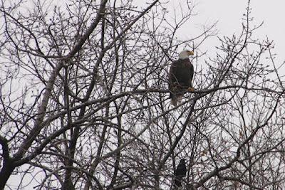 bald eagle shadowed by a crow