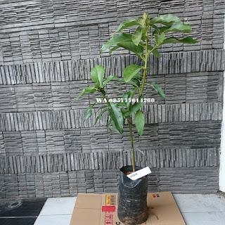 Alpukat wina  adalah salah satu jenis alpukat di unggulkan dikarenakan buahnya berukuran jumbo (besar), berdaging tebal. Tanaman alpukat berasal dari daratan Meksiko yang terletak di Benua Amerika. Di Indonesia tanaman alpukat mulai dikenal dan dikembangkan pada abad 18. Selain di Indonesia tanaman alpukat juga dikembangkan oleh negara-negara daerah beriklim tropis dan subtropis di seluruh dunia. Alpukat wina adalah jenis alpukat lokal unggul dengan ukuran jumbo di Indonesia, buah yang berasal dari bandungan (Kab Semarang) ini sangat banyak sekali penimatnya, baik di dalam maupun di luar negeri.  Bibit alpukat wina ini baisanya dikembangkan melalui sambung pucuk atau okulasi. Jenis alpukat wina merupakan salah satu jenis alpukat yang sangat popular dikalangan masyarakat, dikarenakan buahnya berukuran jumbo (hampir sama Alpukat Kendil), daging buahnya tebal, tidak begitu berair, warna buah berwarna kuning seperti mentega dan lebih tahan lama dibanding dengan jenis alpukat lainya.