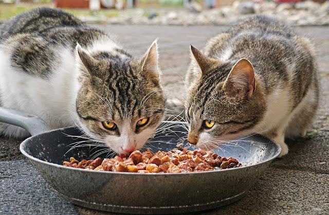أكل القطط المنزلي وجبات تحبها القطط ومفيدة لصحتها