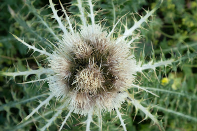 [Asteraceae] Cirsium spinosissimum - Spiniest Thistle (Cardo spinosissimo).