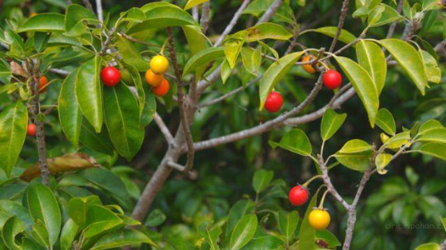 Tanaman Penghancur Santet Pohon Tanjung