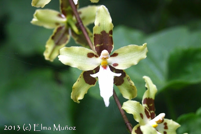 Oncidium trilobum
