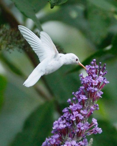 Hummingbird | A-Z List of 125 Rare Albino Animals [Pics]