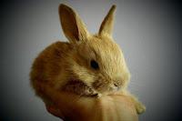 bisnis ternak kelinci, usaha ternak kelinci, biaya modal ternak kelinci, rincian biaya modal ternak kelinci, kelinci, ternak kelinci, bisnis ternak kelinci