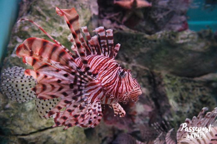 Rascasse, aquarium Umi Tamago, Oita