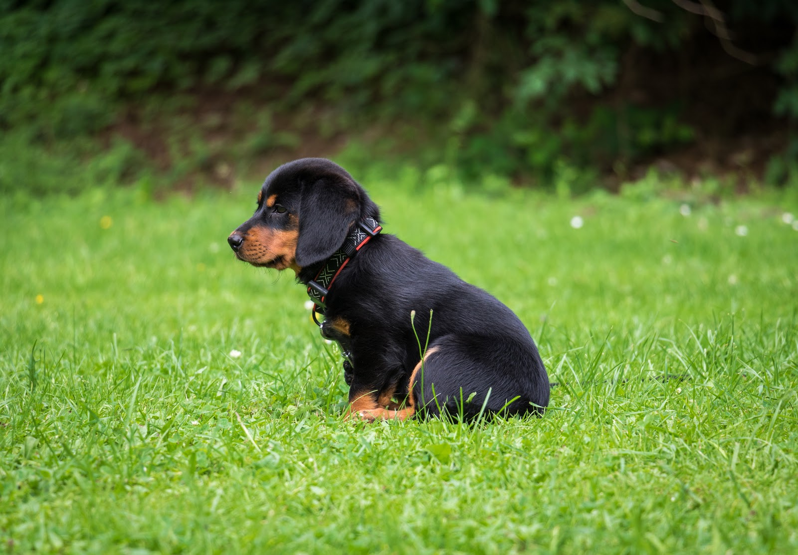 black-and-brown-rottweiler-puppy-images-dog