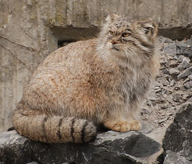 The cuddlywumps cat chronicles meet the manul a rare wild cat of a pallass cat or manul at zoo zrich switzerland photo by winkelbohrer cc by sa 20 via wikimedia commons publicscrutiny Images
