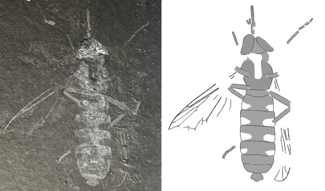 Ancient wasp-mimicking fly discovered in South Korea
