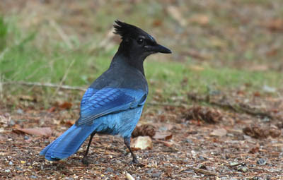 Photo of Steller's Jay on the ground