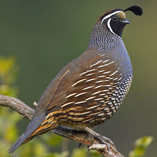 how to look after quails
