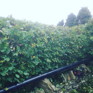 Hedge, Life on Pig Row