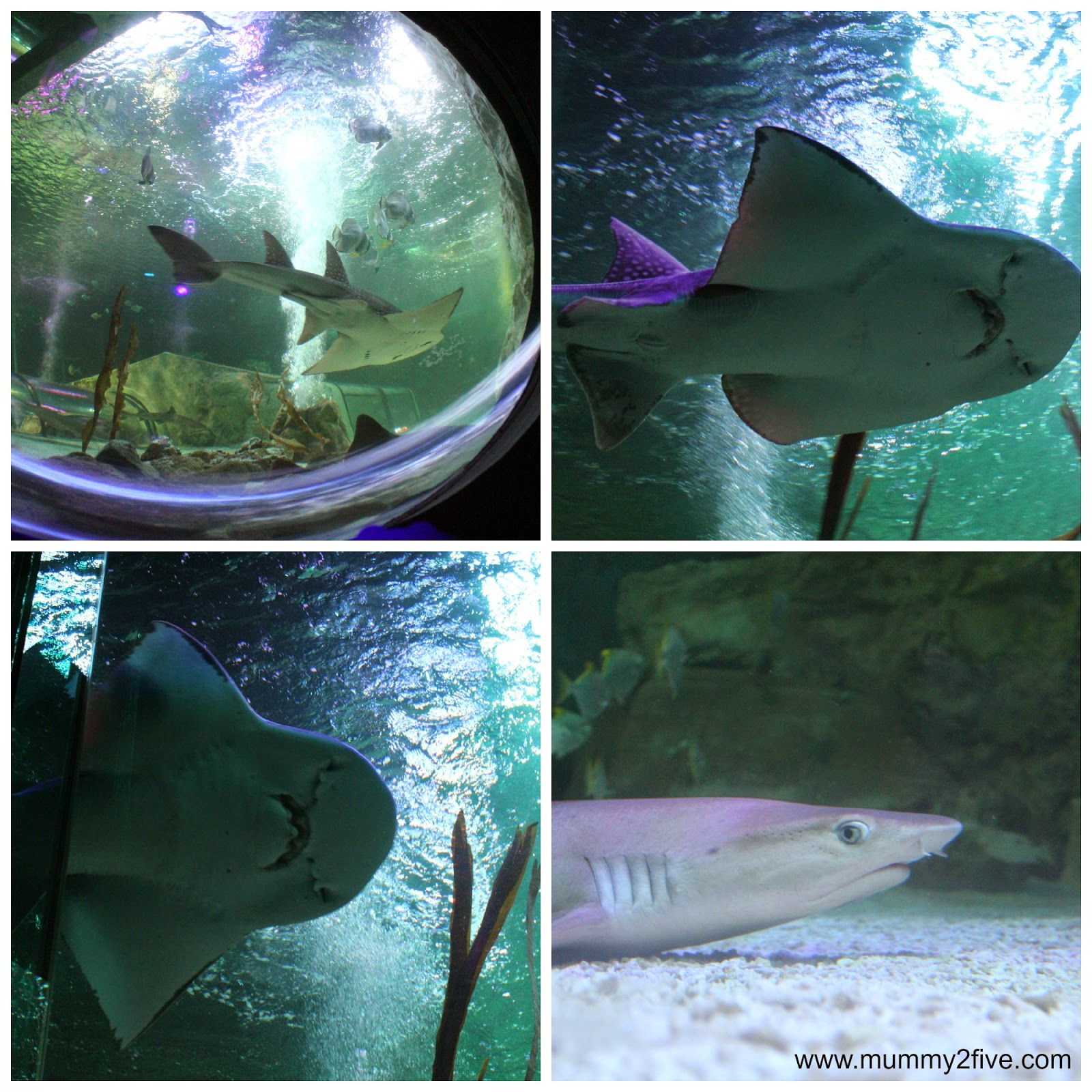 Bowmouth guitar shark and black tip reef shark