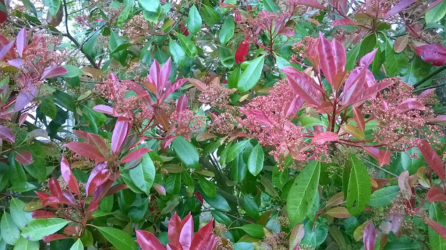 Life between the flowers-Photinia Red Robin makes a great hedge and requires minimal maintenance