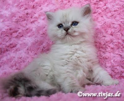 Katzenbaby Britisch Langhaar