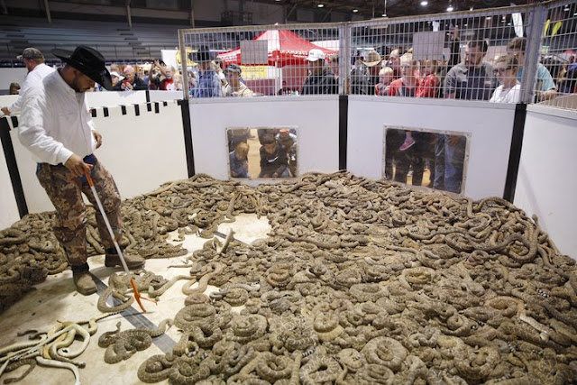 Thousands Of Rattlesnake Were Kept Captive From Their Natural Habitat To Be Killed At This Festival!