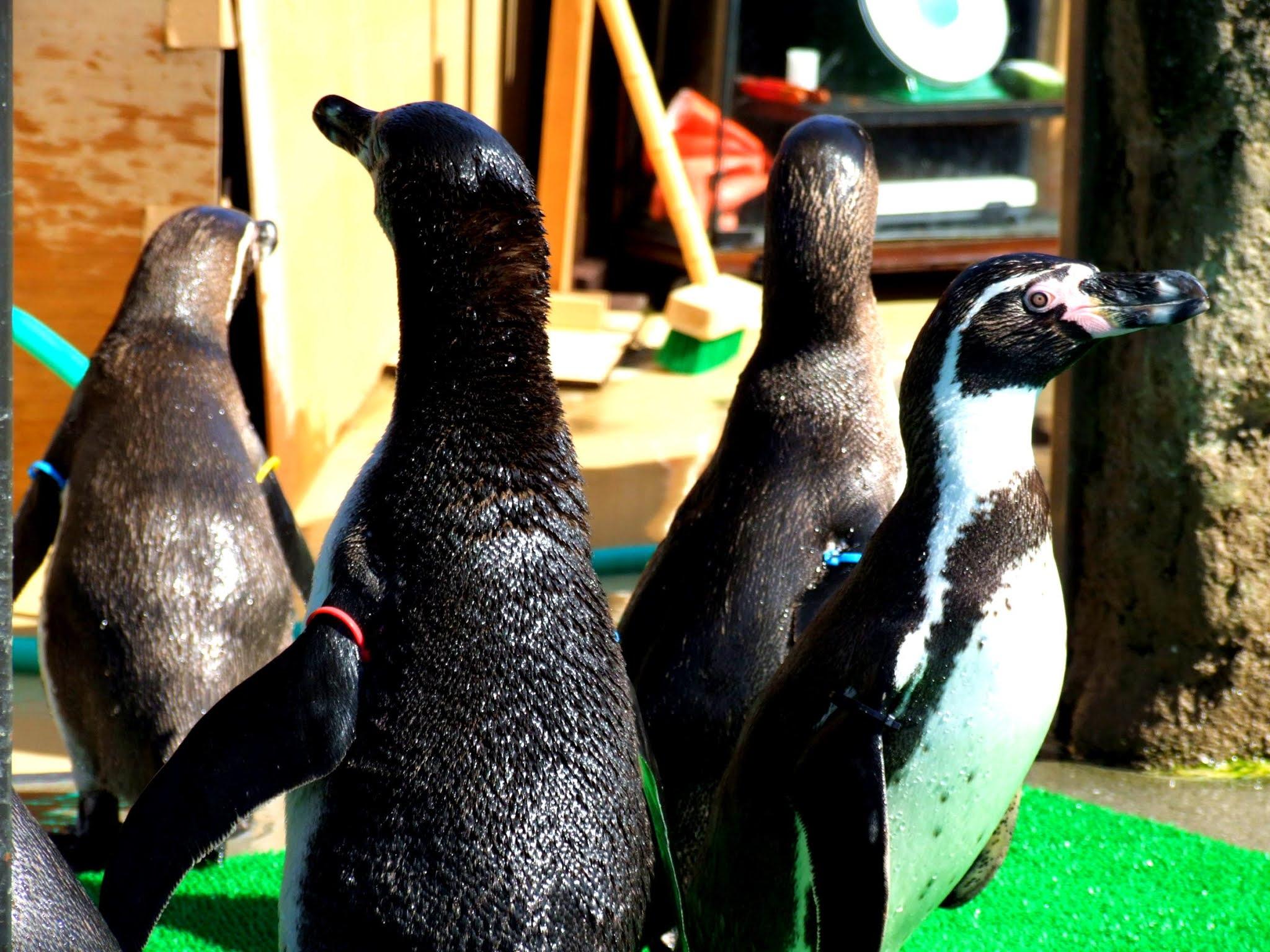 円になって集まって、思い思いに好きな方向を見つめているペンギンさんたちの写真素材です。