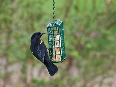 Photo of male Red-winged Blackbird eating from suet feeder