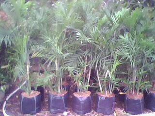 Gambar tanaman indoor dalam ruangan palm komodoria harga murah