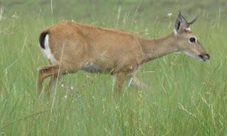 Pampas Deer, Ozotoceros bezoarticus