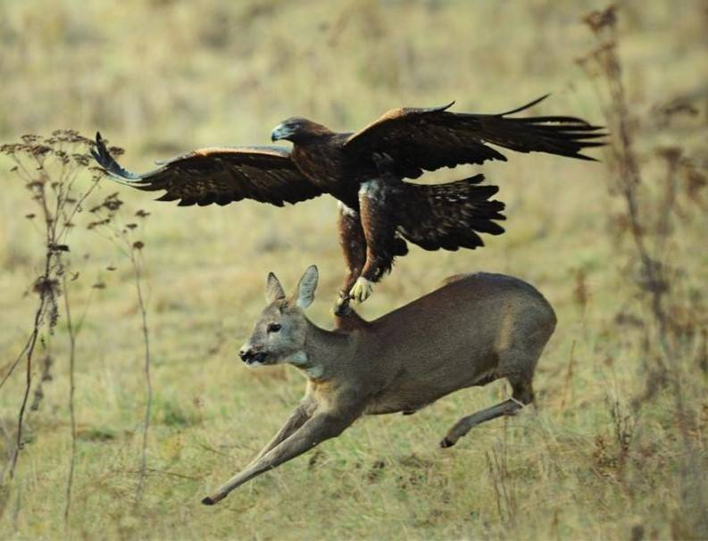 Wildlife Eagle trying to catch deer