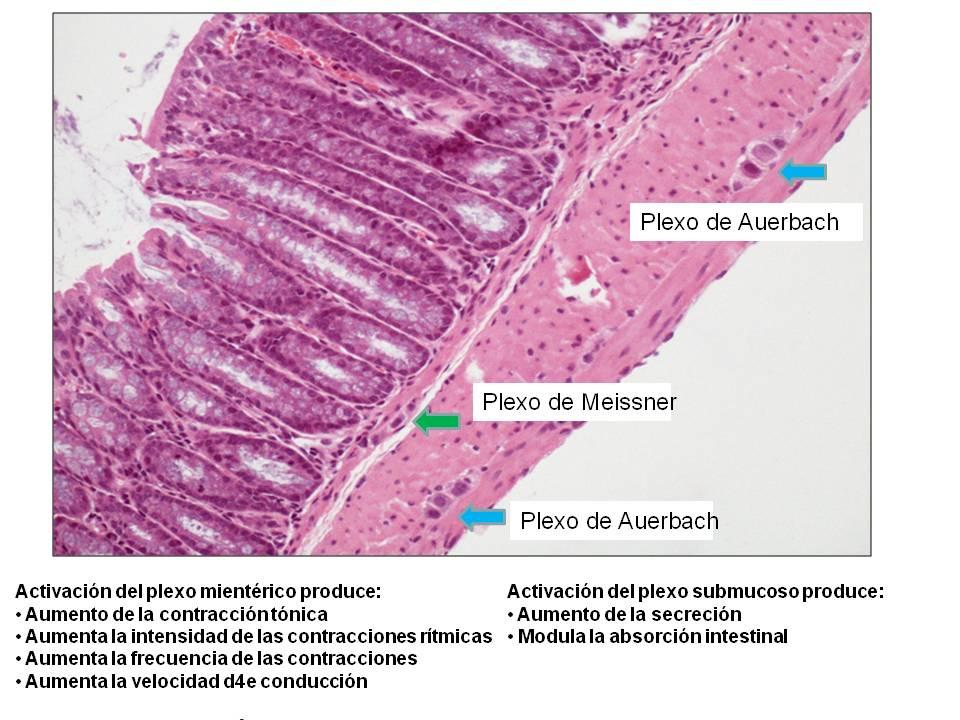 PLEXO DE MEISSNER Y AUERBACH PDF DOWNLOAD
