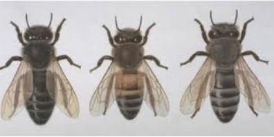 Φυλές μελισσών