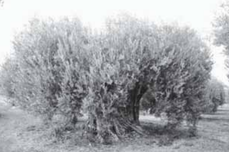 Η ελαιοκομία στη Χαλκιδική και η διαχείριση του λαδιού και της Ελιάς.