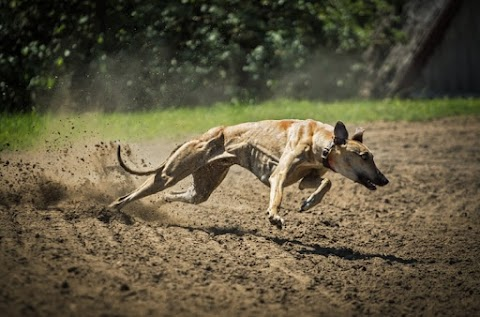 Fastest Dog Breeds - Top 6 Elegant Racer Dog Breeds In The World