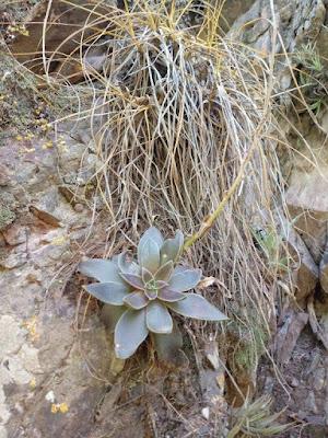 Echeveria saltensis