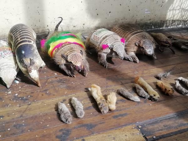 Quirquinchos y patas de zorros fueron decomisados por Pofoma en La Paz / PERIÓDICO BOLIVIA