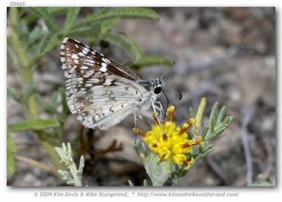 Mariposa cuadriculada común (Pyrgus communis)