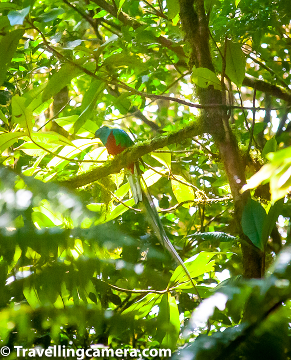 The resplendent quetzal moves seasonally from high elevation nesting sites to lower elevations on both sides of the Continental Divide.     The mammals of Monteverde include representatives from both North and South America as endemic species - species of marsupials, muskrats, bats, primates, edentates, rabbits, ground hog, squirrels, spiny mouse, long-tailed rats/mice, porcupine, agouti, paca, canids, mustelids, procyonids, felines, wild pigs, deer & tapirs.