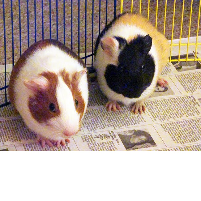 My sister has two guinea pigs, Noire (left) and Garnet (right). They are such good little piggies!