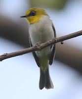 Gambar Burung Pleci Makasar