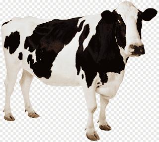 تفسير مشاهدة البقرة في منام العزباء