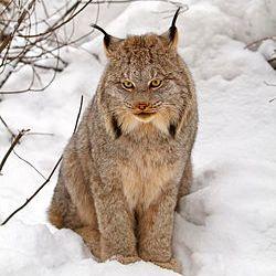 62+ Gambar Hewan Kucing Kutub Gratis Terbaik