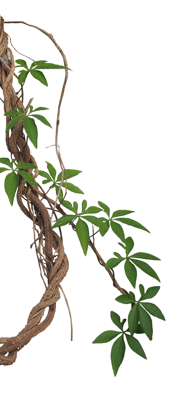 Vine Liana Tropical rainforest graphy Jungle, jungle, brown roots and green leaves against blue background, leaf, branch, plant Stem png free png download