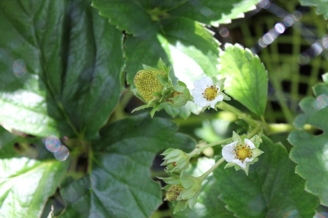 We're finally getting fruit on the strawberry plants.