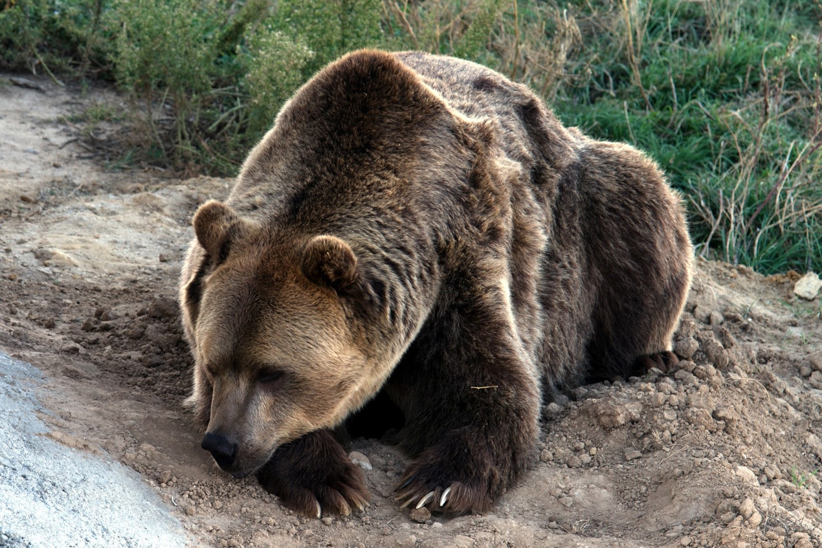 Grizzly bear picture.