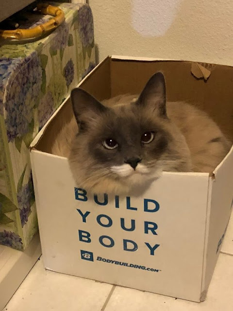This is my Ragdoll, Ash. He's 2 years old, acts like a toddler at 3 AM, and an 'If I fit, I sit' cat. Best $5 adoption investment I made at the Humane Society