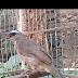 Cara membuat burung trucukan/ jogjog gacor dan ngropel