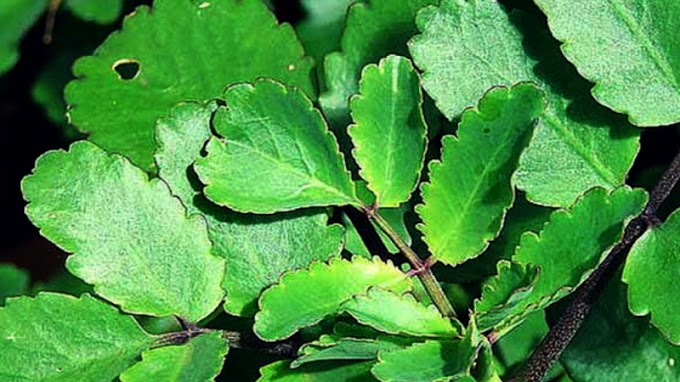 10 Amazing Health Benefits & Uses Of Medicinal Plant Patharchatta
