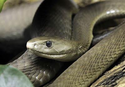 Selain King Kobra, Inilah 5 Jenis Ular Paling Mematikan di Dunia